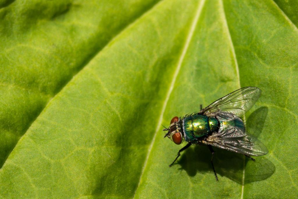 California fly infestations
