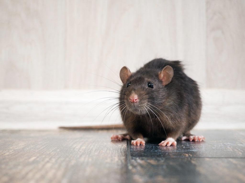 California rat control